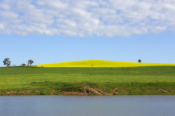 Orange Canola Fields